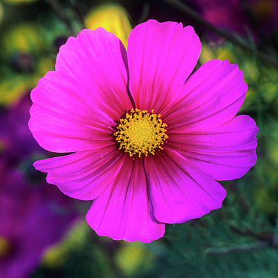 Photograph - Cosmos by John Brink