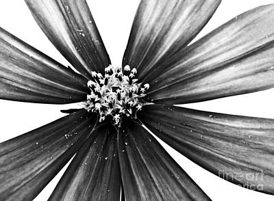 Photograph - Cosmos Monochrome by Sarah Loft