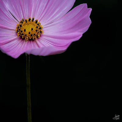Photograph - Cosmos On Black by Lisa Knechtel