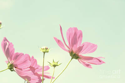 Photograph - Cosmos Pink Flowers by Anastasy Yarmolovich