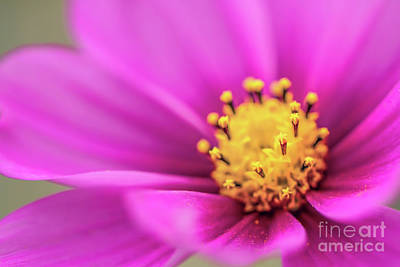 Photograph - Cosmos Pink Sensation by Sharon Mau