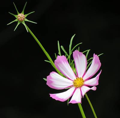 Photograph - Cosmos Star by MTBobbins Photography