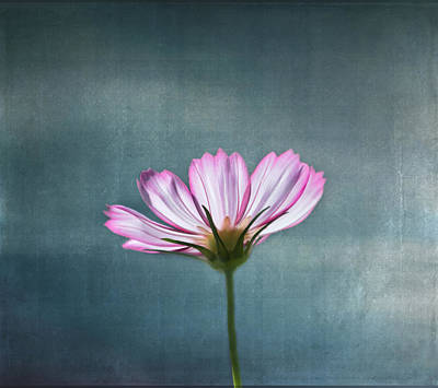 Cosmos - Summer Love Art Print by Kim Hojnacki