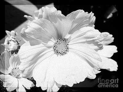 Cosmea Photograph - Cosmos Sun Flowers Black White by Mona Stut