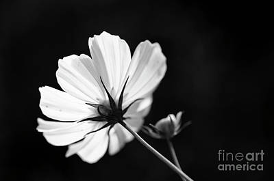 Photograph - Cosmos by Tamara Becker