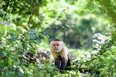 Photograph - Costa Rica Capuchin Monkey II by Michael Santos
