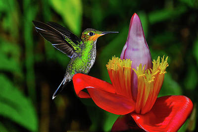 Photograph - Costa Rican Hummingbird by Harry Spitz
