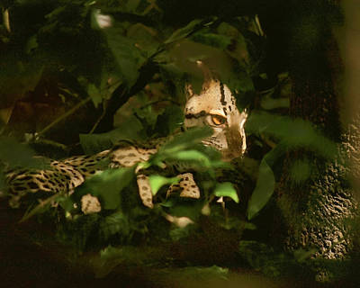 Margay Cat Photograph - Costa Rican Margay by Ron Horbinski