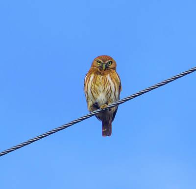 Photograph - Costa Rican Pygmy Owl  by John Pierpont