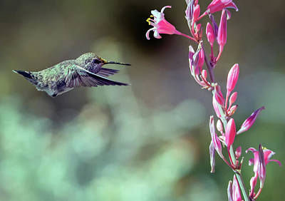 Photograph - Costa's Hummingbird 0556-051318-1cr by Tam Ryan