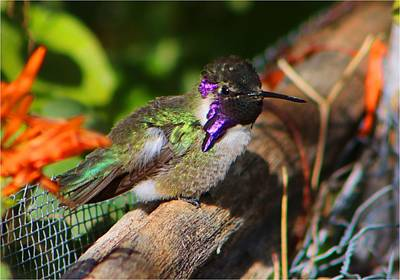 Photograph - Costa's Hummingbird 2 by Kathryn Meyer