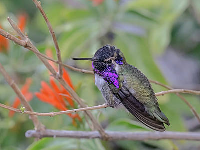 Photograph - Costa's Hummingbird 4346-022617-1cr by Tam Ryan