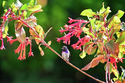 Photograph - Costas Hummingbird And Honeysuckle In Morning Light by Lynn Bauer