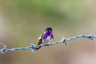 Photograph - Costa's Hummingbird by Douglas Killourie