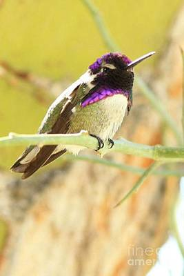 Photograph - Costa's Hummingbird by Frank Townsley