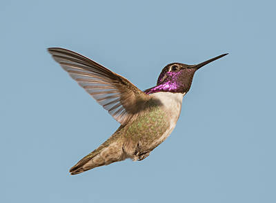 Photograph - Costas Hummingbird In Flight by Loree Johnson