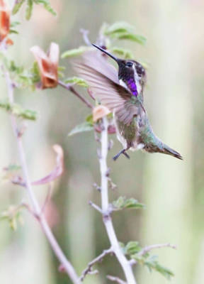Photograph - Costa's Hummingbird In Mid Flight  by Ruth Jolly
