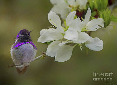 Costas Hummingbird On An Anacacho Orchid Branch Art Print