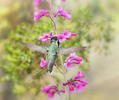 Photograph - Costa's Hummingbird On The Pink Penstemon  by Saija Lehtonen