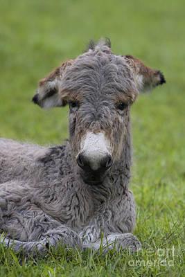 Donkey Foal Photograph - Cotentin Donkey Foal by Jean-Louis Klein & Marie-Luce Hubert