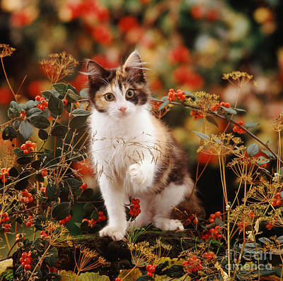 Photograph - Cotoneaster Cat by Warren Photographic