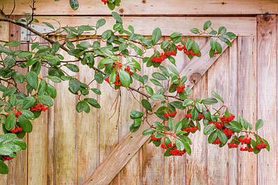 Photograph - Cotoneaster In Pt. Reyes by Joe Doherty
