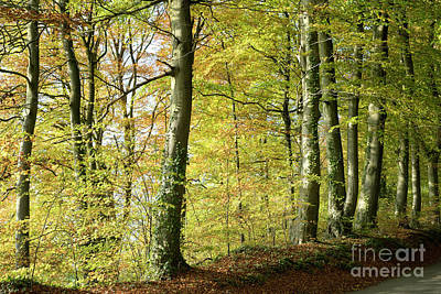 Photograph - Cotswold Beeches by Tim Gainey