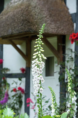 Photograph - Cottage Garden Foxglove by Tim Gainey