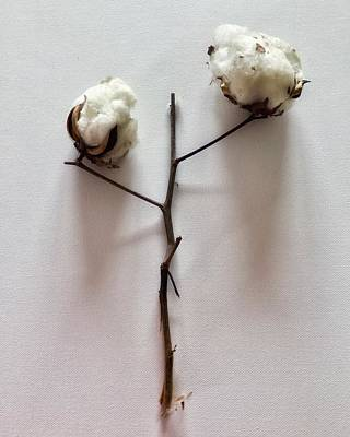 Photograph - Cotton Boll Study Number 2 by Patricia E Sundik