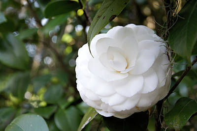 Photograph - Cotton Camellia by Ed Waldrop