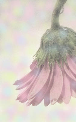 Photograph - Cotton Candy Gerbera by Angela Davies