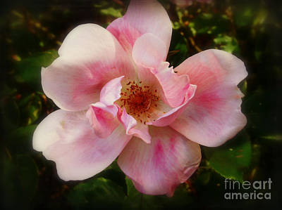 Photograph - Cotton Candy Rose by Miriam Danar
