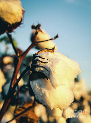 Photograph - Cotton Field 13 by Andrea Anderegg