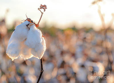 Photograph - Cotton Field 14 by Andrea Anderegg