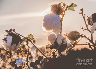 Photograph - Cotton Field 15 by Andrea Anderegg