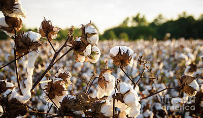 Photograph - Cotton Field 19 by Andrea Anderegg