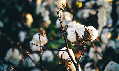 Photograph - Cotton Field 20 by Andrea Anderegg
