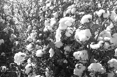Photograph - Cotton Field 3 by Robert and Kume Bryant