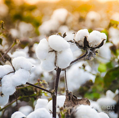 Photograph - Cotton Field 4 by Andrea Anderegg