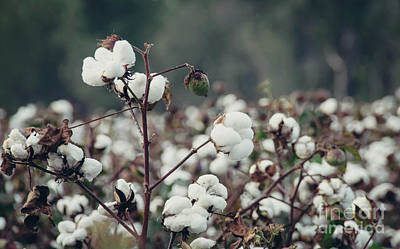 Photograph - Cotton Field 5 by Andrea Anderegg