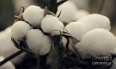 Photograph - Cotton Field 7 by Andrea Anderegg