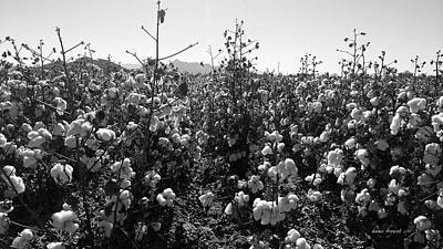 Photograph - Cotton Field 7 by Robert and Kume Bryant
