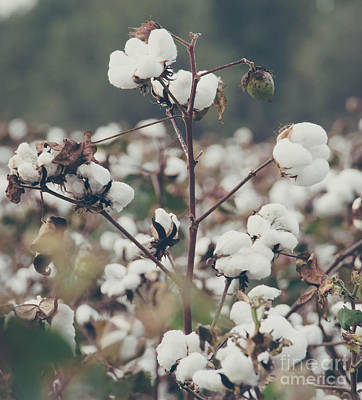 Photograph - Cotton Field 8 by Andrea Anderegg