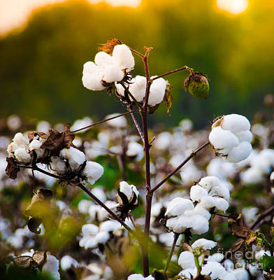 Photograph - Cotton Field by Andrea Anderegg