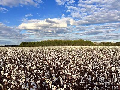 Photograph - Cotton Field by Flavia Westerwelle