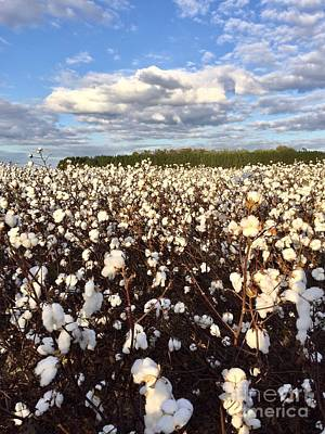 Photograph - Cotton Field In South Carolina by Flavia Westerwelle