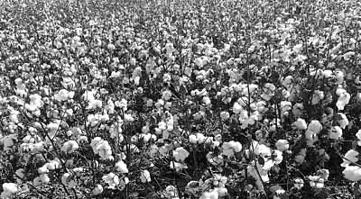 Photograph - Cotton Field by Robert and Kume Bryant