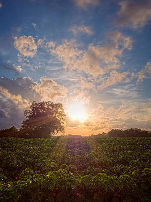 Cotton Field Sunset Art Print