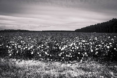 Photograph - Cotton Fields Black And White by Debra Forand