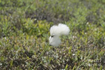 Cotton Grass -eriophorum Virginicum- Art Print by Erin Paul Donovan